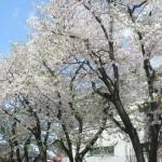 組合会館裏の桜