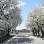 桜並木の中を子供達がお散歩!